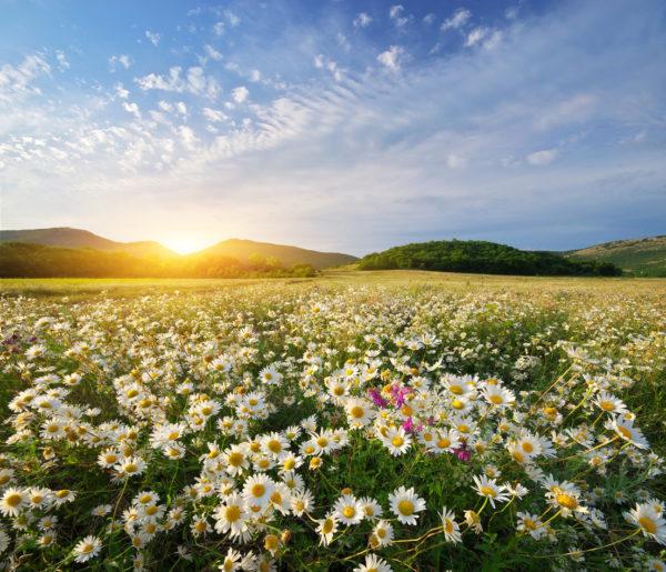 Spring daisy flowers